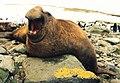 Mirounga leonina male (cropped).JPG