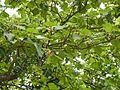 Mitragyna parvifolia (Roxb.) Korth. (28339888364).jpg