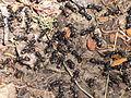 Modoc Carpenter Ants- Camponotus modoc (9403851586).jpg