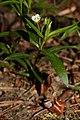 Moehringia macrophylla 9046.JPG