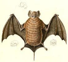 Velvety free-tailed bat - Wikipedia