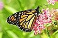 Monarch feeding on Swamp Milkweed Sand Lake NWR (12843093335).jpg