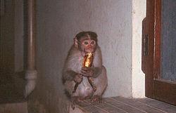 Macaco comendo uma banana.