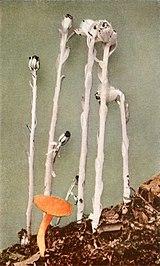 Monotropa uniflora WFNY-152B.jpg