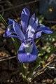 Moraea sisyrinchium, Crete 02(js).jpg