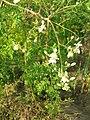 Moringa oleifera flowering.jpg