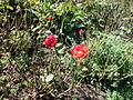 Morris Arboretum Rosa kordesii.JPG