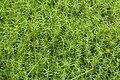 Moss. Polytrichastrum formosum (27631020089).jpg