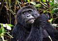 Mountain Gorilla, Uganda (15024013537).jpg