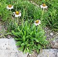Mountain daisy - Flickr - brewbooks.jpg