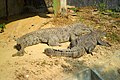 Mugger crocodile in Chittagong Zoo (04).JPG