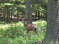 Mule deer buck at Goat Haunt (4479394475).jpg