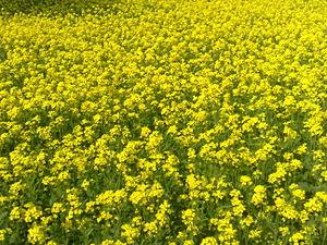 Mustard plant - Bangladeshi mustard plants