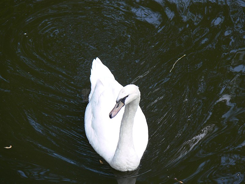 A mute swan photographed from above in Brugge