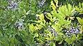 Myrica pensylvanica fruit(01).jpg
