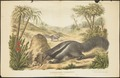 Myrmecophaga jubata - 1700-1880 - Print - Iconographia Zoologica - Special Collections University of Amsterdam - UBA01 IZ21000037.tif