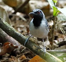 Myrmoborus myotherinus - Black-faced antbird male.jpg