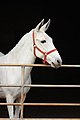 Myrtle Mule (6958313566).jpg