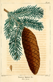 NAS-146 Picea abies.png
