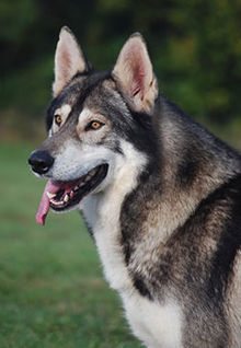 Northern Inuit Dog Adoption California