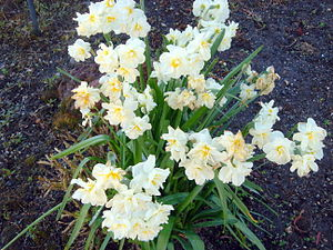 Daffodil flowers.