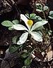 Naregamia alata - Photo (c) Vinayaraj, algunos derechos reservados (CC BY-SA)
