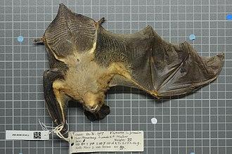 Large slit-faced bat - Image: Naturalis Biodiversity Center ZMA.MAM.28345.b ven Nycteris grandis skin