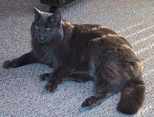 Nebelung Cat | Cat Breeds | Petfinder