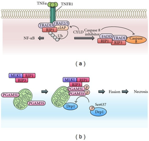 Necroptosis - The Necroptosis Signaling Pathway