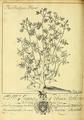 Nekrokedeia- or Fleuron N041948-5.png