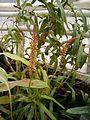 Nepenthes burkei Inflorescence BotGard0106a.JPG