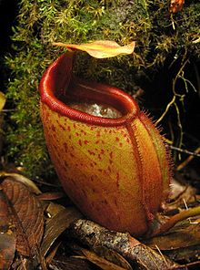 Nepenthes mira1.jpg