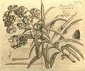 Nerium oleander00.jpg