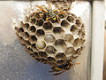 Nest of a Paper Wasp.jpg