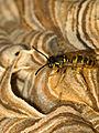 Nestbau der gemeinen Wespe V.jpg