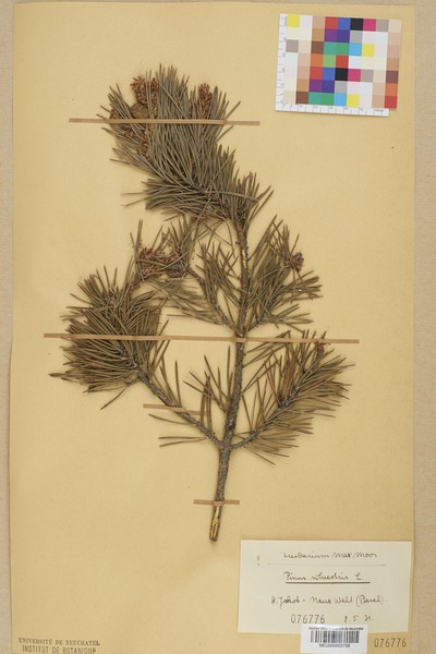 File:Neuchâtel Herbarium - Pinus sylvestris - NEU000003759.tiff