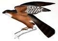 Neue Wirbelthiere zu der Fauna von Abyssinien gehörig (1835) Accipiter rufiventris.png