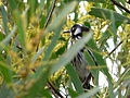 New Holland Honeyeater 2.JPG