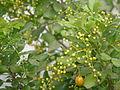 Ngâu (Aglaia duperreana) 1.JPG