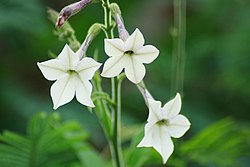 meaning of nicotiana