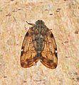 Nogodinid planthopper? (8394648888).jpg