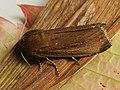 Nonagria typhae - Bulrush wainscot - Тростниковая совка большая (41130528461).jpg