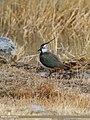Northern Lapwing (Vanellus vanellus) (33875554851).jpg