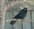 Northwestern Crow, Seldovia, Alaska 2.jpg