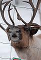 Nosey Reindeer (5466324661).jpg