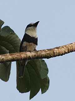 Notharchus hyperrhynchus -Belize -perching in tree-8.jpg