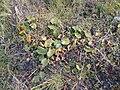 Nymphaea alba L. (AM AK295447-2).jpg