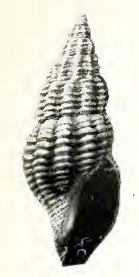Oenopota levidensis 001.jpg