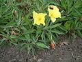 Oenothera macrocarpa RB1.JPG