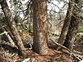 Old growth Cupressus bakeri, Timbered Crater.jpg